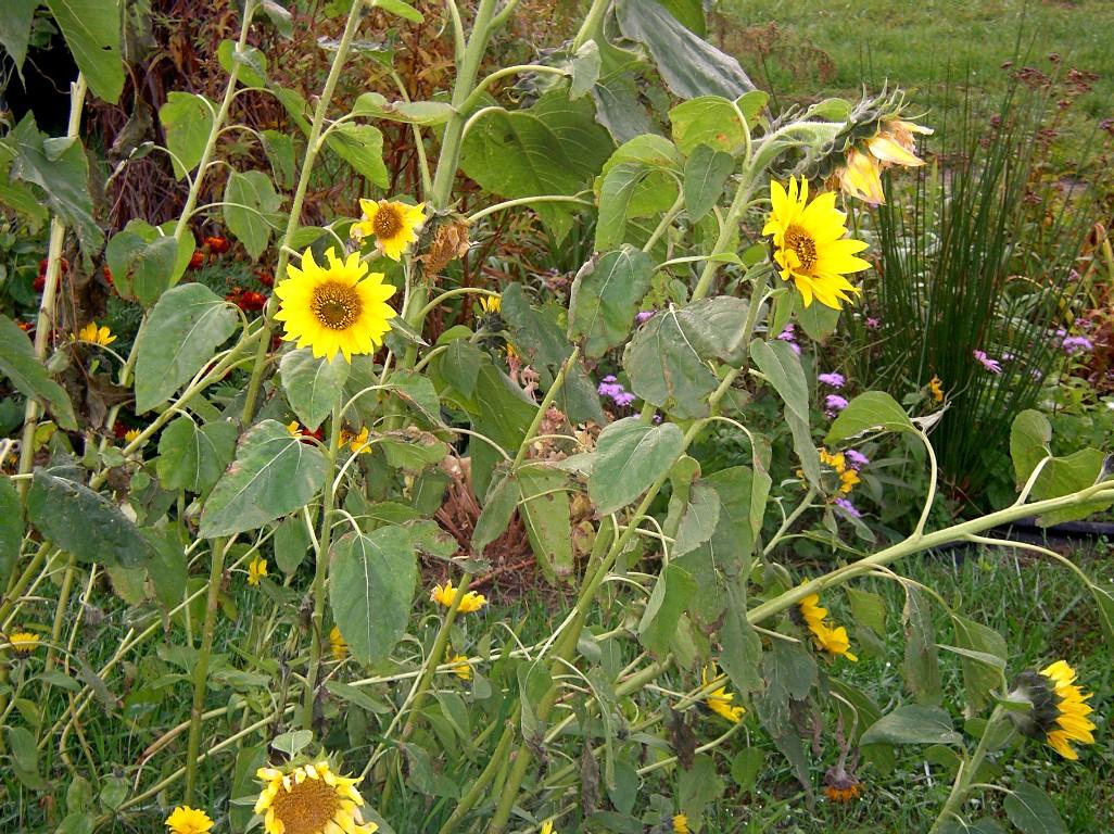 sunflower 10 28 04 IMGP3047