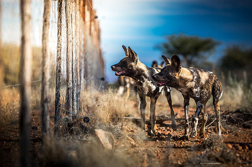 """African Wild Dogs descended from wolves and listed as second most endangered mammal in Africa."""