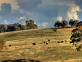 Cattle near Bathurst 002