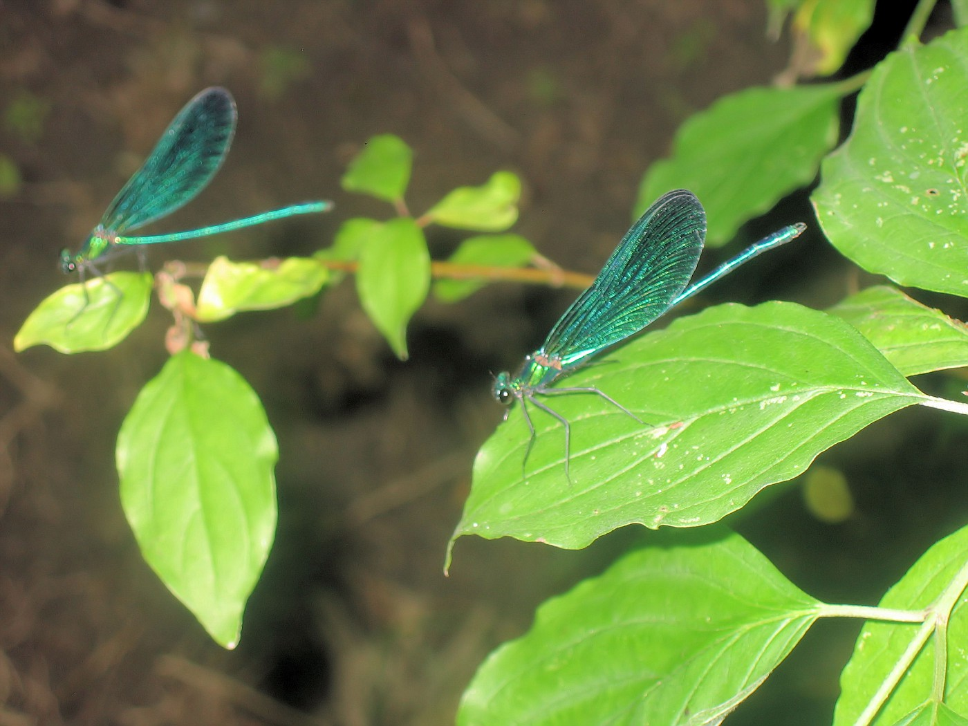 Two Dragonflies #1