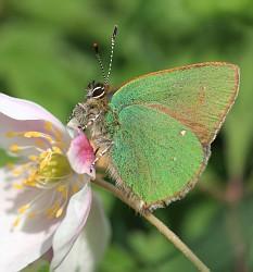 The Green Hairstreak Butterfly