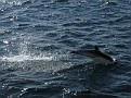 common dolphin 5