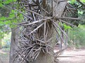 Gleditsia sinensis (2)