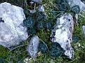 Cyclamen graecum (10)-001