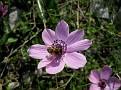 Anemone (6)