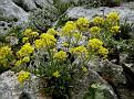 Aurinia saxatilis (2)