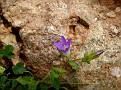 Campanula drabifolia (1)