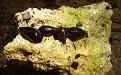 Melanopsis praemorsa (2)