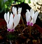 Cyclamen cyprium (1)