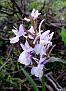 Dactylorhiza romana (17)