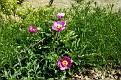 Paeonia mascula subsp  mascula (47)