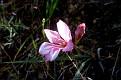 Gladiolus triphyllus (4)