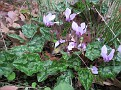 Cyclamen hederifolium (5)