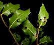 Aceria quercina (4)
