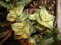 Crassula perforata variegata