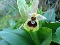 Ophrys tenthredinifera (6)