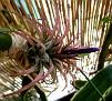 Tillandsia ionantha rubra (1)