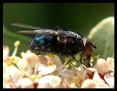 Blue Bottlefly - alive