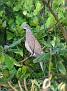 Short-billed pigeon (?)