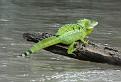 Jesus Christ lizard - male