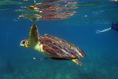 Loggerhead (?) sea turtle