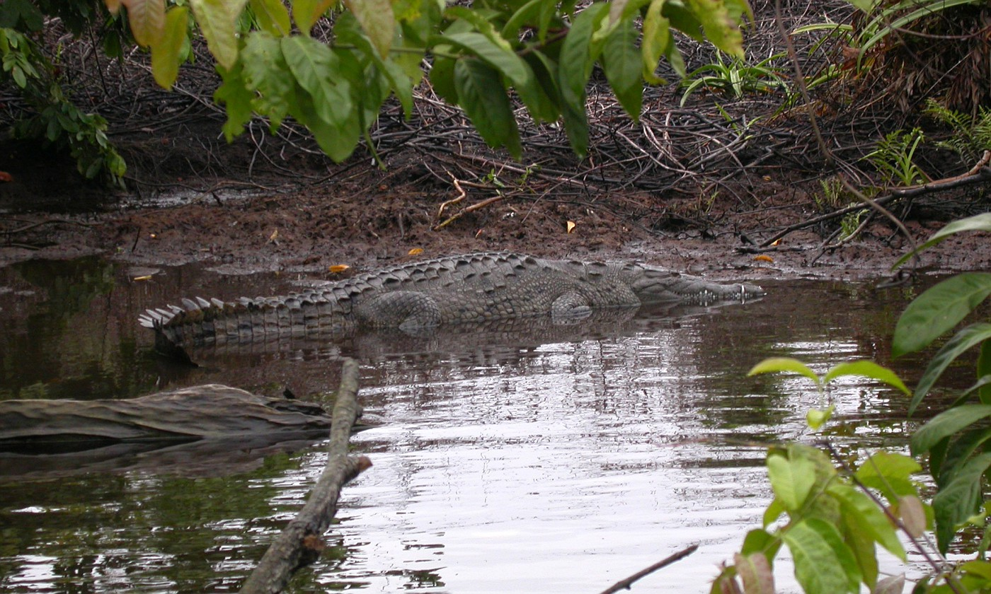 A huge Croco in natural settings