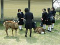 Deer are the signature animals of Nara