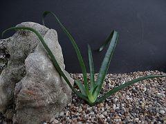 Aloe macra