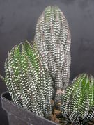 Haworthia reinwardtii road N2 turn off to coombsIB 8646.JPG