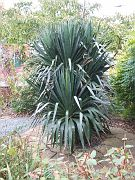 072 big Yucca in the backyeard.