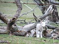 Lambs playing on Yarras Lane Bathurst 002