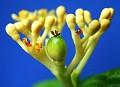 Jatropha podagrica Sp  Tanzania (yellow flowers)(Seed pod)