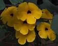 Uncarina peltata 2010 (5) bmp4208704813301946591