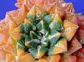 Ariocarpus kotchoubeyanus variegata (4)