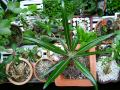 Pachypodium geayi (new growth after 2 years rest)