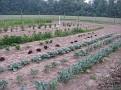 Cauliflower, Broccoli, cabbage, Red Leaf Lettuce, etc...  radishes and weeds!!!