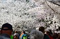 CherryBlossomFest APR2015 652
