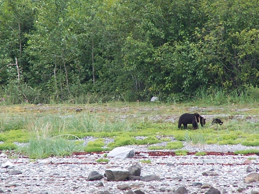Black bear and cub in Glacier Bay