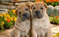 two-sharpei-pups-leaning-against-each-other-valent