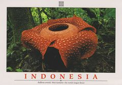 Indonesia - Rafflesia Arnoldi NFW (World's Largest Flower)