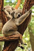 05- Koala NA