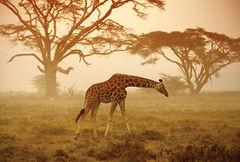 Kenya - GIRAFE NA
