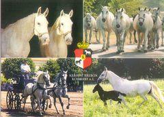 Czech Rep - Kladruber Horses NF