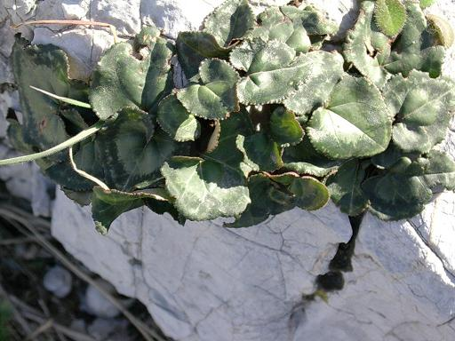 Cyclamen graecum -Habitat