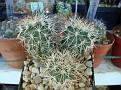 Turbinicarpus knuthianus