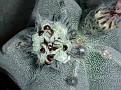Astrophytum myriostigma v. columnare