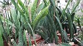 6. Sansevieria collectie
