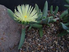 Astridia citrina Namibia