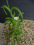 Delosperma herbeum