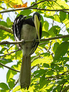ORIENTAL PIED-HORNBILL-male (Anthracoceros albirostris)